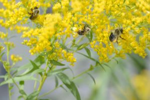 Searching for Gold, Bees Digging In the Buds 3 by Miss-Tbones