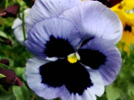 Violet Pansy by aragornsparrow