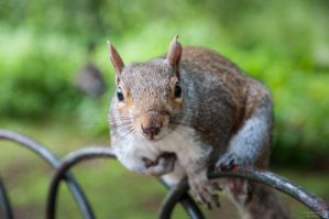 Crazy gray Squirrel by Engazung