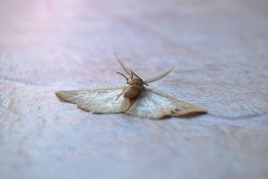 Dying Moth (5) by chantriera