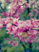 Vintage Pink by barefootphotos