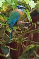 Blue-crowned Motmot by mydigitalmind
