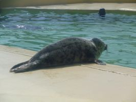Animals 065 - grey seal by Dreamcatcher-stock