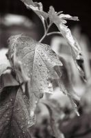 Drops on a leaf by JJTM