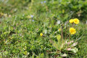 Crepis-2 by Rea-the-squirrel