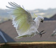 Sulphur Crested Cockatoo 36 by chezem