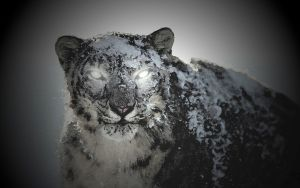 Black Snow Leopard by GUIDOPATA