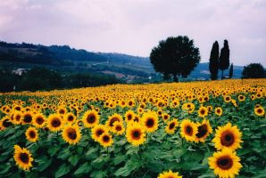 Landscape of Sunflowers by Online-Natural