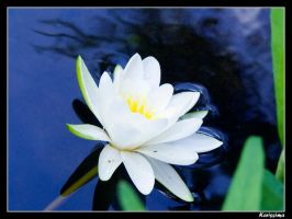 Water lily by Katlinegrey