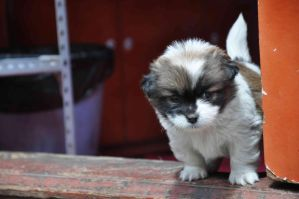 Lijiang Puppy. by 0zzyk