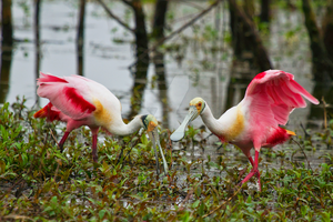 Roseate Spoonbills by ribbonworm