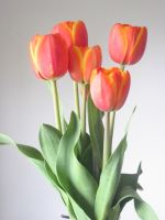 Orange Tulips III -stock- by BiggieShorty