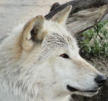 WSWS August 7: Wolf 24 by FamilyCanidae