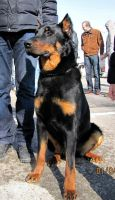 Beauceron by natiawarner