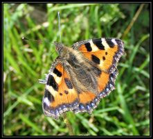 Small tortoishell Butterfly by Vitaloverdose