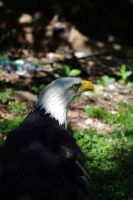 Bald Eagle 6 by yoricktlm