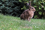 Wild hare next to the house by Daydraemer