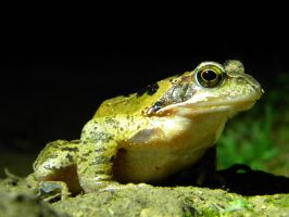 Frog by PandaSerenity
