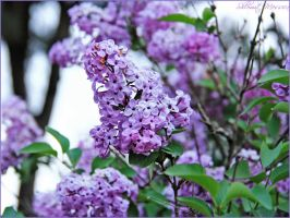 Lilac for Selina by ShlomitMessica