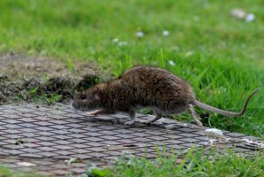 Afternoon with cat and  mouse or rat number 4 by pagan-live-style