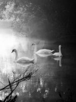 Swans in mist by MDGallery