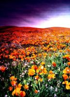 Poppies Of California by mastercylinder