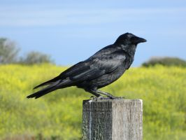 Crow 003 - HB593200 by hb593200