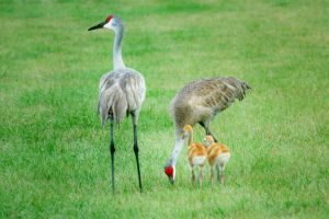 Sandhill Crane Family Outing by Kippenwolf