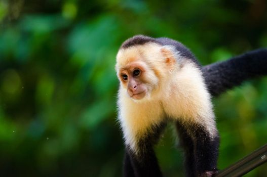 White-headed capuchin by do7slash