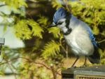 Look Away NOW a Blue Jay Says by Ellie-Photo-House