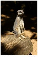 Meerkat Lookout by In-the-picture