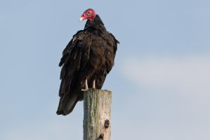 Vulture perched by bovey-photo