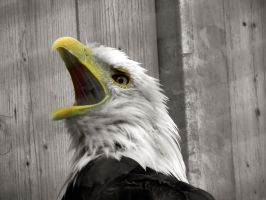 Bald Eagle 2 by Chaosthief