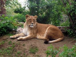 2012 - African lion 24 by Lena-Panthera
