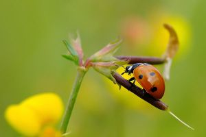 Coccinella by efeline