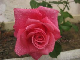 Pink romantic rose by Khrys90