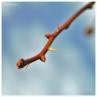 Thorny Signs Of Spring by erbphotography