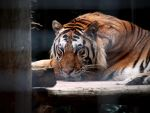 Siberian Tiger 6. by purevintage