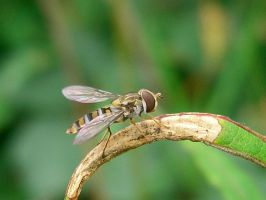 Hoverfly by Jassylaw