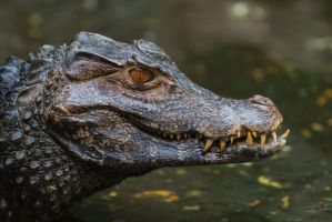 Alligator by Fotostyle-Schindler