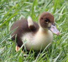 Adorable Baby Duckling by SalemCat