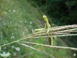 Praying mantis by pathed