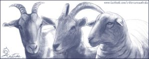 Goat and Sheep Sketches by CobraVenom