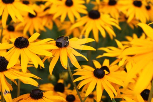 Among the black-eyed susans by Nerdfighter