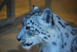 Snow Leopard 5 by NicamShilova