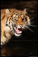 Tiger: Annoyance by TVD-Photography