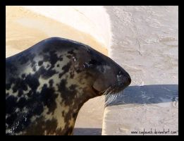 Smiling Seal II by caybeach