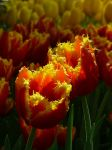 Tulips3 by Otoff
