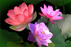 Beautiful lotuses. by Mladavid