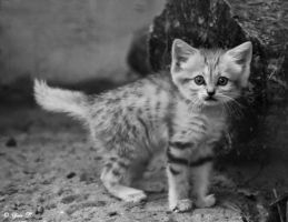 SAND CAT KITTEN by Yair-Leibovich